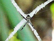 Argiope Spider Wikipedia