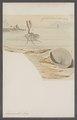 Argonauta argo - - Print - Iconographia Zoologica - Special Collections University of Amsterdam - UBAINV0274 090 01 0008.tif