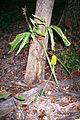 Arisaema dracontium 1117242.jpg