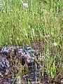 Armeria villosa Habitat 2011-5-14 SierraMadrona.jpg