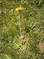 Arnica montana RHu 01.JPG