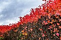 Aronia hedge with berries in autumn in Tuntorp 1.jpg