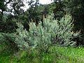 ArtemisiaCalifornica-GaviotaCA.jpg