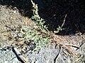 Artemisia alba ssp nevadensis Habitus.jpg