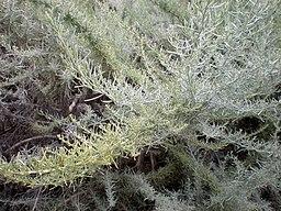 Artemisia californica 2c