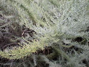 Artemisia californica - Gray mature foliage.