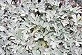 Artemisia stelleriana Silver Brocade 0zz.jpg