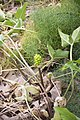 Arum maculatum-3458.jpg