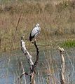 Asian Openbill Stork. Anastomus oscitans - Flickr - gailhampshire.jpg