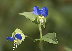 Asiatic dayflower - Commelina communis 01.jpg