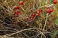 Asparagus macrorrhizus0500 04.jpg