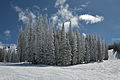 Aspen Mountain firs with fresh snow.jpg