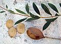 Aspidosperma quebracho-blanco (8439750088).jpg