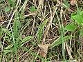 Asplenium platyneuron fronds.jpg