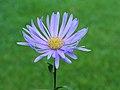 Aster thomsonii. Locatie, Tuinreservaat Jonkervallei 01.JPG
