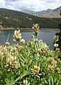 Astragalus cicer kz05.jpg