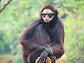 Ateles marginatus Zoo SP.jpg