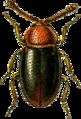 Atomaria nigripennis Jacobson.png