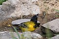 Audubon's Oriole National Butterfly Center Mission TX 2018-03-04 15-24-10 (38871069930).jpg