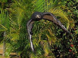 Augur buzzard - Dark-morph