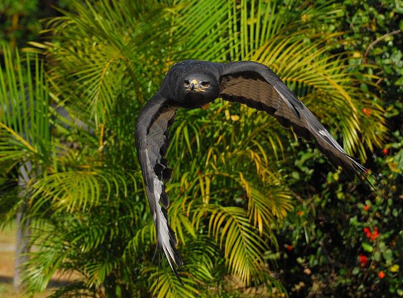 File:Augur Buzzard in flight.jpg