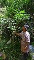Aureliana fasciculata var. longifolia (Sendtn.) Hunz. & Barboza (14960462779).jpg