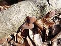 Auricularia mesenterica 9044728.jpg