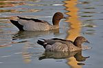 Australian Wood Duck male female.jpg