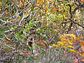 Autumn-deer-brush - West Virginia - ForestWander.jpg