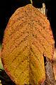 Autumn leaf - Herbstblatt 03.jpg