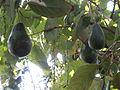 Avocado 6.JPG