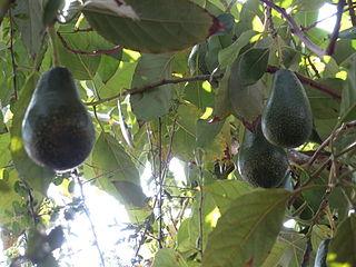 Foto van avocado's aan boom