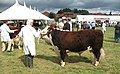 Awaiting the ring - National Hereford Show 2008 - geograph.org.uk - 909814.jpg
