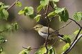 Bøksanger (Phylloscopus sibilatrix). Wood Warbler.jpg