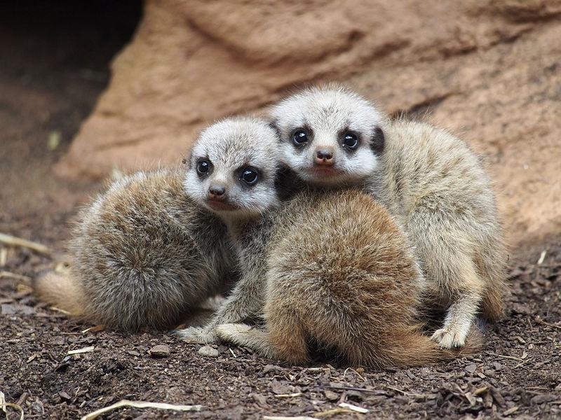 File:Baby Meerkats.jpg