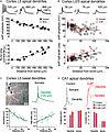 Backpropagating action potentials in pyramidal neuron dendrites..jpg