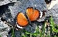 Bali Island Hypolimnas Misippus Misippus Female (23596566888).jpg