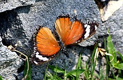 240px bali island hypolimnas misippus misippus female (23596566888)