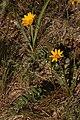 Balsamorhiza sericea 4768.JPG