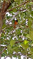 Baltimore Oriole in India.jpg