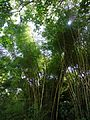 Bambusa vulgaris Schrad. ex J.C.Wendl. - La Lagunita 2013 004.jpg