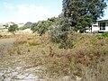 Banksia integrifolia L.f. (AM AK291450-1).jpg