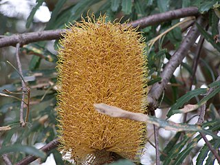 <i>Banksia littoralis</i> Species of tree in the family Proteaceae endemic to the south-west of Western Australia