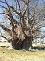 Baobab Tsandi.jpg