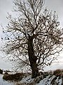 Bare tree on field boundary - geograph.org.uk - 1656741.jpg