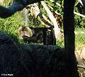 Bartaffe oder Wanderu (Macaca silenus).jpg