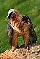 20 / Bearded Vulture