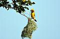 Baya Weaver Ploceus philippinus male at nest by Raju Kasambe (1).JPG