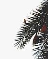 Baya weaver (Ploceus philippinus) on Phoenix sylvestris from Andhra Phoenix sylvestris from Andhra JEG8938.JPG