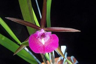 Brassocattleya - Bc. Star Ruby = B.nodosa × C. Batalinii
